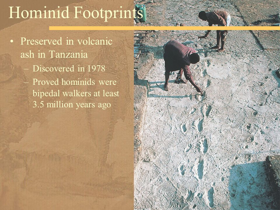 Preserved in volcanic ash in Tanzania –Discovered in 1978 –Proved hominids were bipedal walkers at least 3.5 million years ago Hominid Footprints