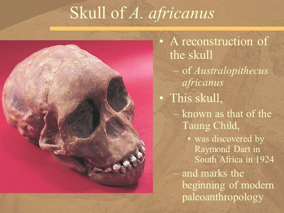 A reconstruction of the skull –of Australopithecus africanus This skull, –known as that of the Taung Child, was discovered by Raymond Dart in South Africa in 1924 –and marks the beginning of modern paleoanthropology Skull of A.