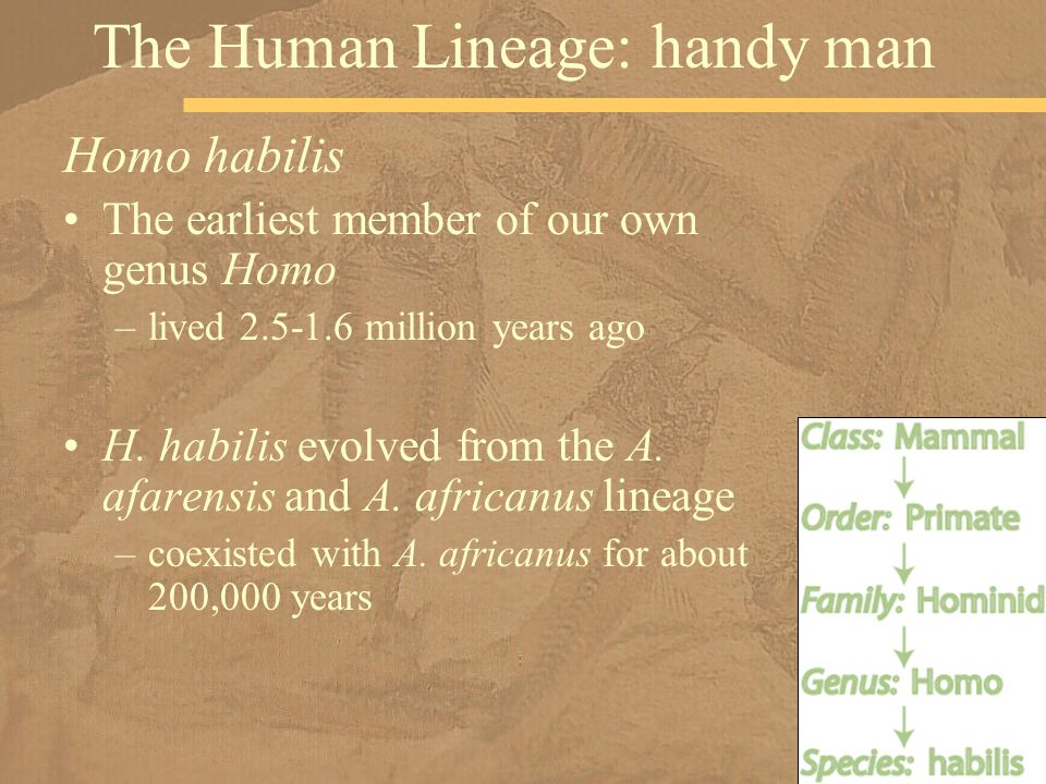 Homo habilis The earliest member of our own genus Homo –lived 2.5-1.6 million years ago H.