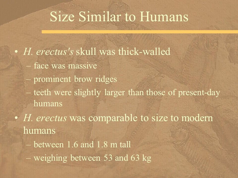 H. erectus's skull was thick-walled –face was massive –prominent brow ridges –teeth were slightly larger than those of present-day humans H. erectus w