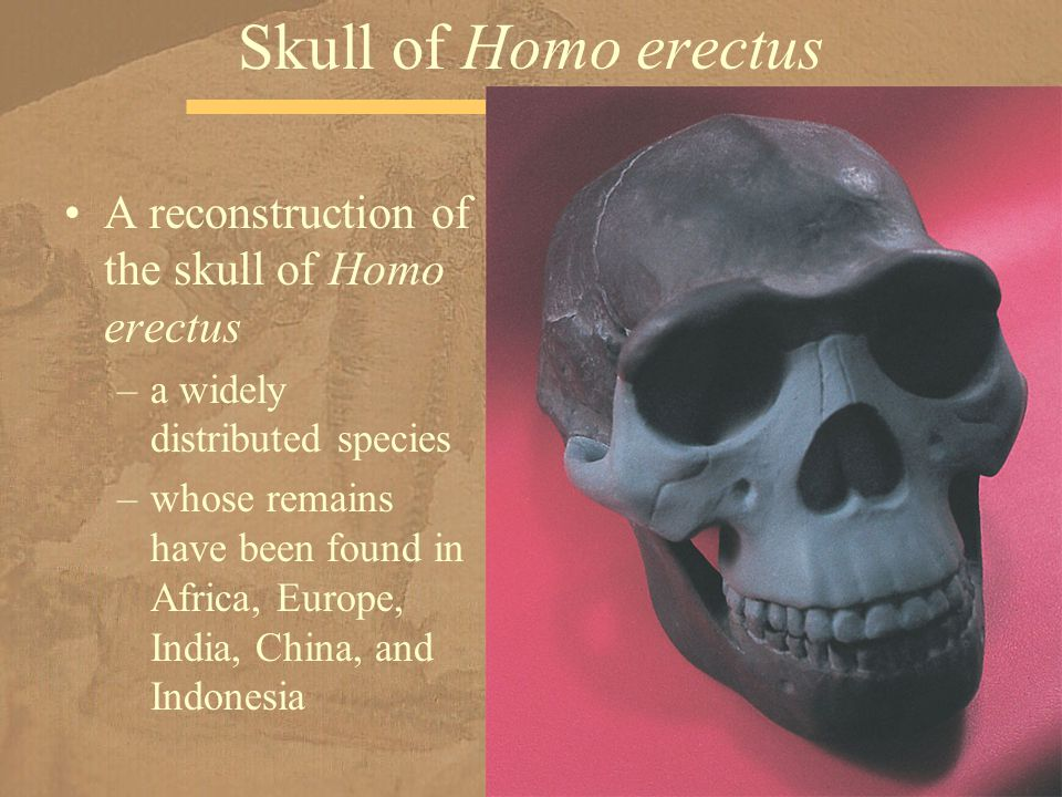 A reconstruction of the skull of Homo erectus –a widely distributed species –whose remains have been found in Africa, Europe, India, China, and Indonesia Skull of Homo erectus