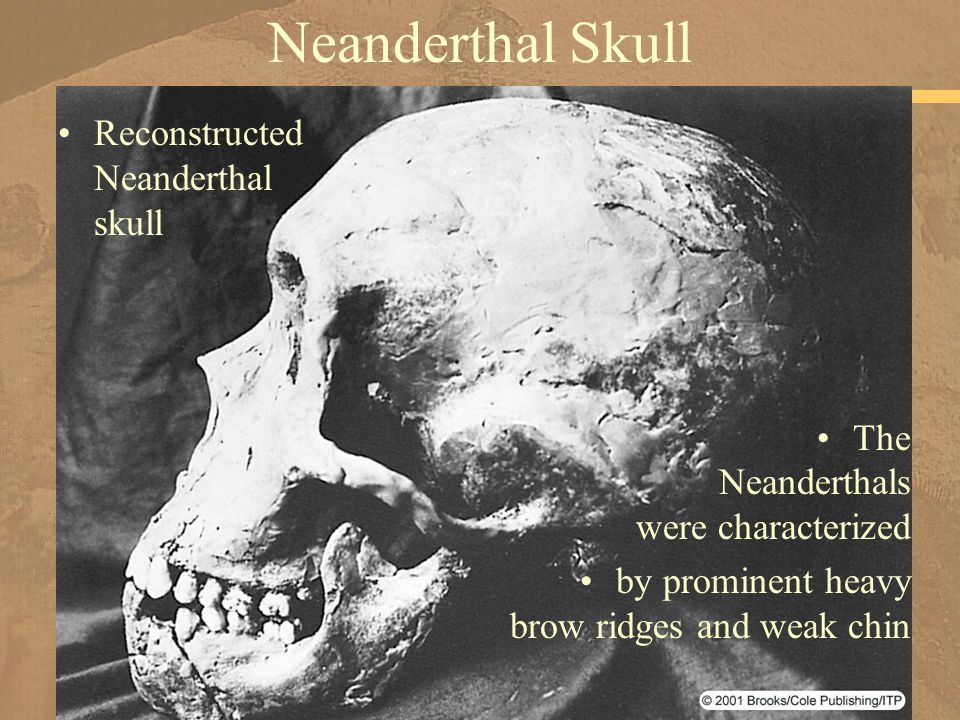 Neanderthal Skull Reconstructed Neanderthal skull The Neanderthals were characterized by prominent heavy brow ridges and weak chin