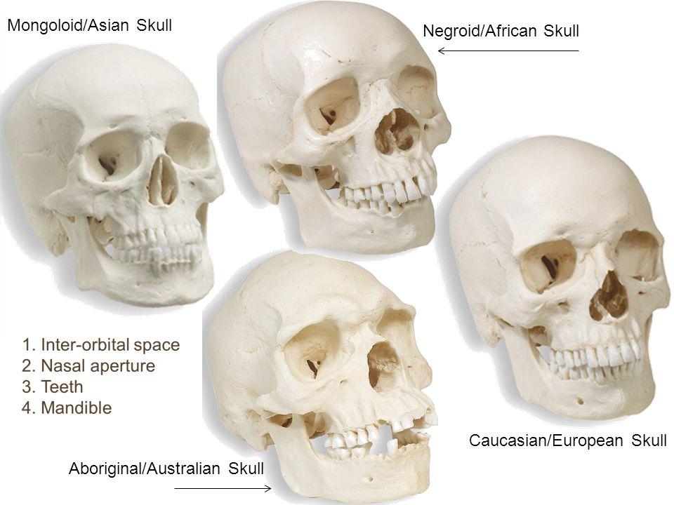 Mongoloid/Asian Skull Caucasian/European Skull Negroid/African Skull Aboriginal/Australian Skull