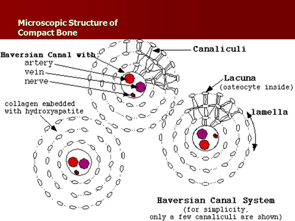 Ahmad ata24 Microscopic Structure of Compact Bone
