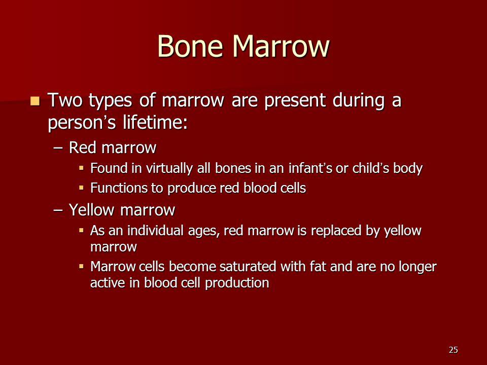 25 Bone Marrow Two types of marrow are present during a person ' s lifetime: Two types of marrow are present during a person ' s lifetime: –Red marrow