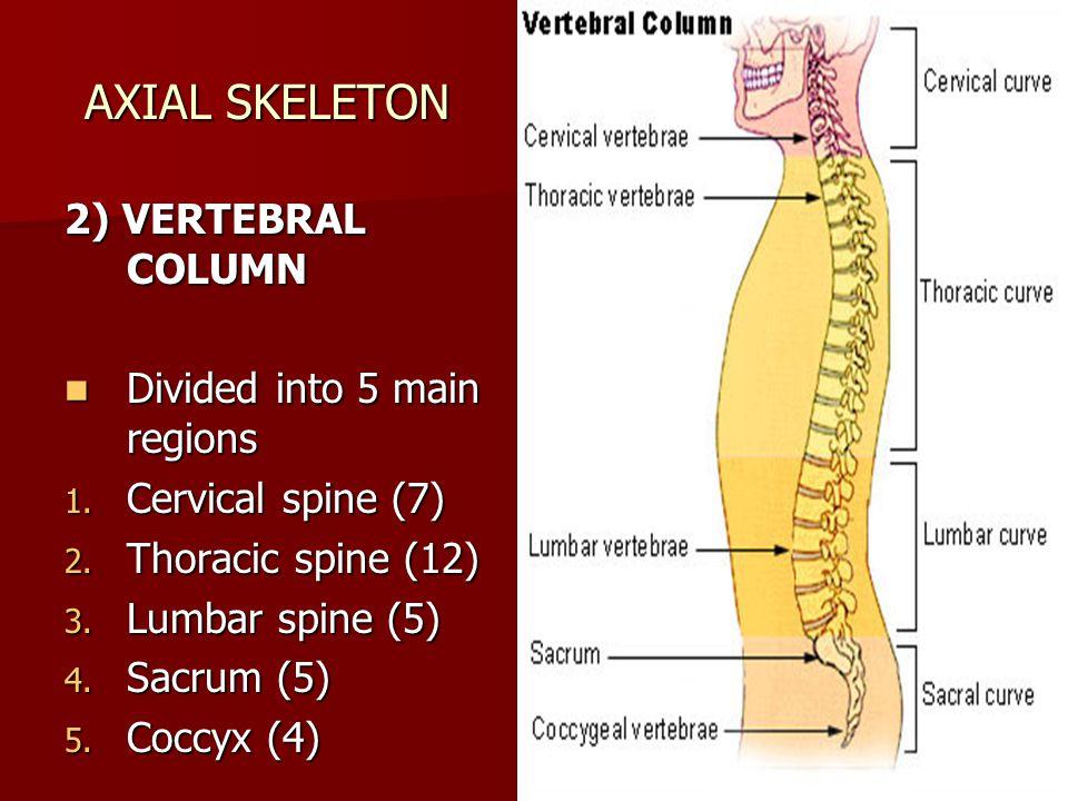 6 AXIAL SKELETON 2) VERTEBRAL COLUMN Divided into 5 main regions 1. C ervical spine (7) 2. T horacic spine (12) 3. L umbar spine (5) 4. S acrum (5) 5.