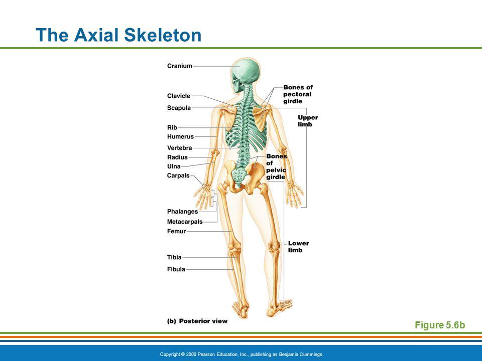 Copyright © 2009 Pearson Education, Inc., publishing as Benjamin Cummings The Axial Skeleton Figure 5.6b
