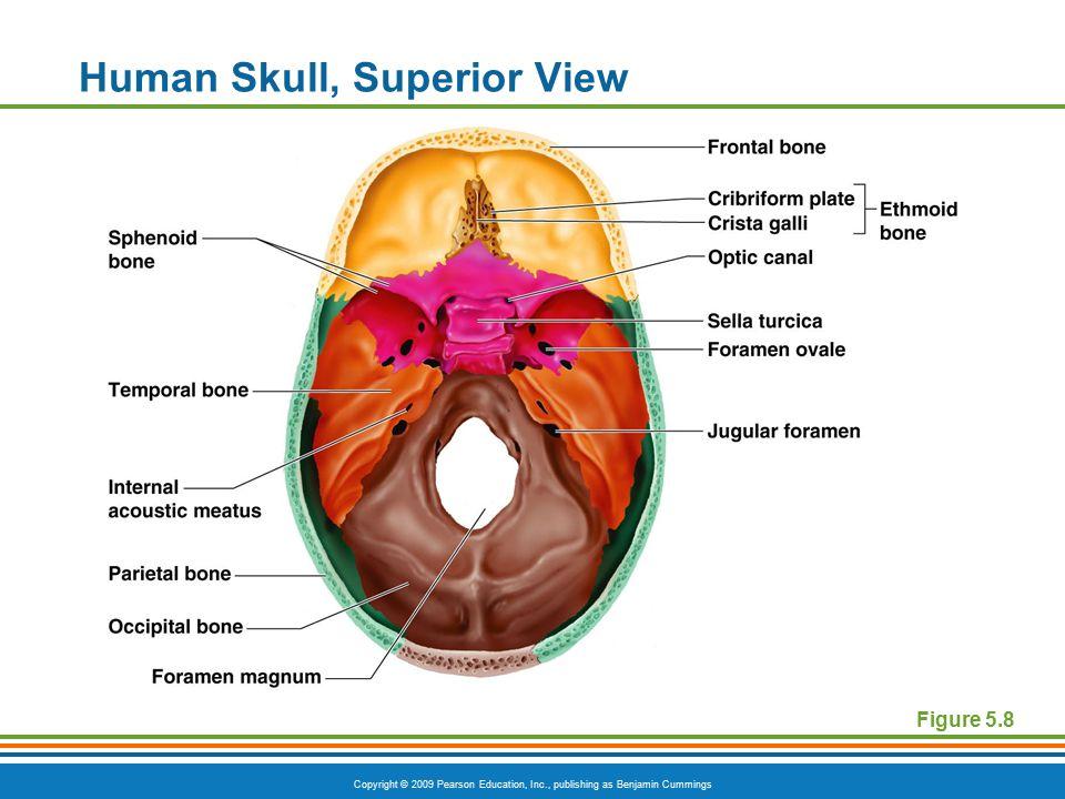 Copyright © 2009 Pearson Education, Inc., publishing as Benjamin Cummings Human Skull, Superior View Figure 5.8