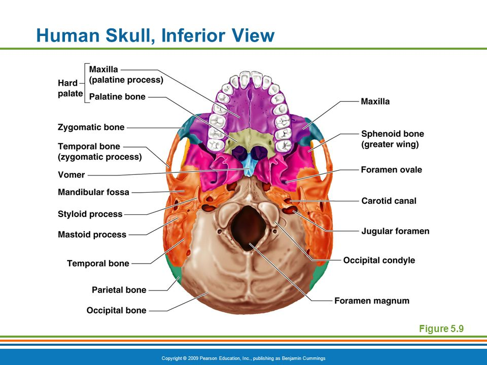 Copyright © 2009 Pearson Education, Inc., publishing as Benjamin Cummings Human Skull, Inferior View Figure 5.9