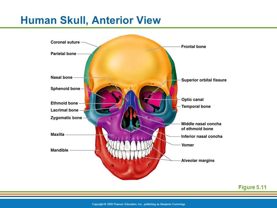 Copyright © 2009 Pearson Education, Inc., publishing as Benjamin Cummings Human Skull, Anterior View Figure 5.11