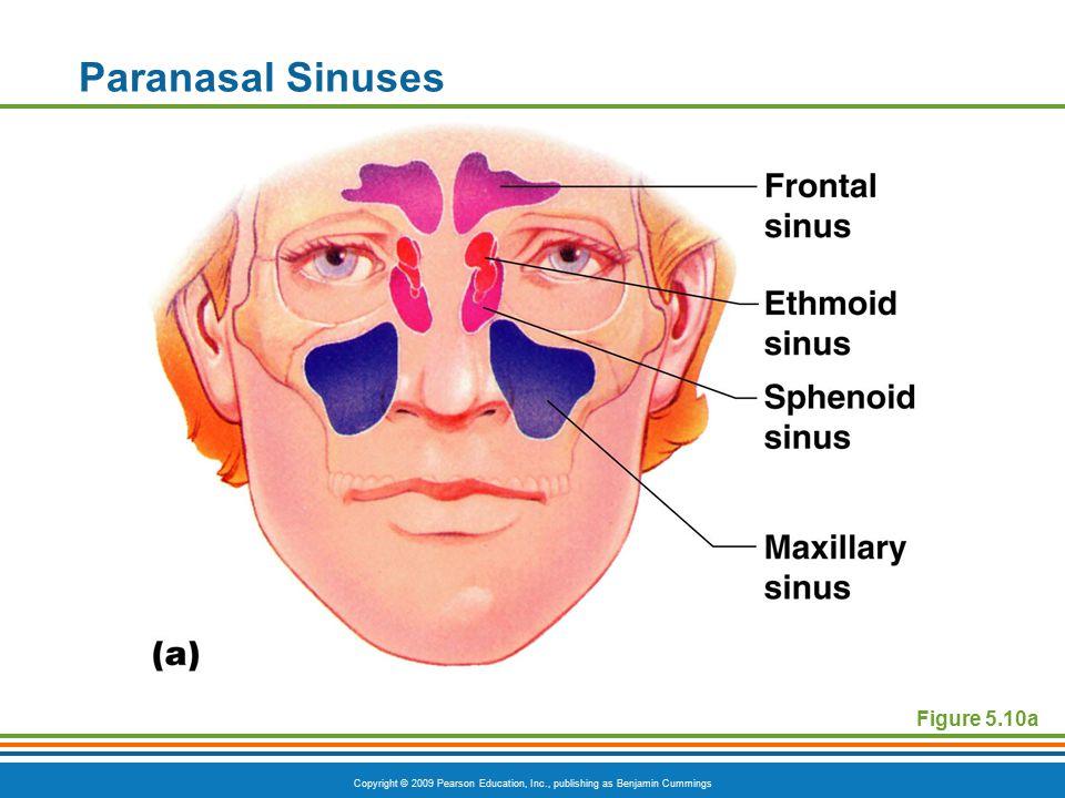 Copyright © 2009 Pearson Education, Inc., publishing as Benjamin Cummings Paranasal Sinuses Figure 5.10a