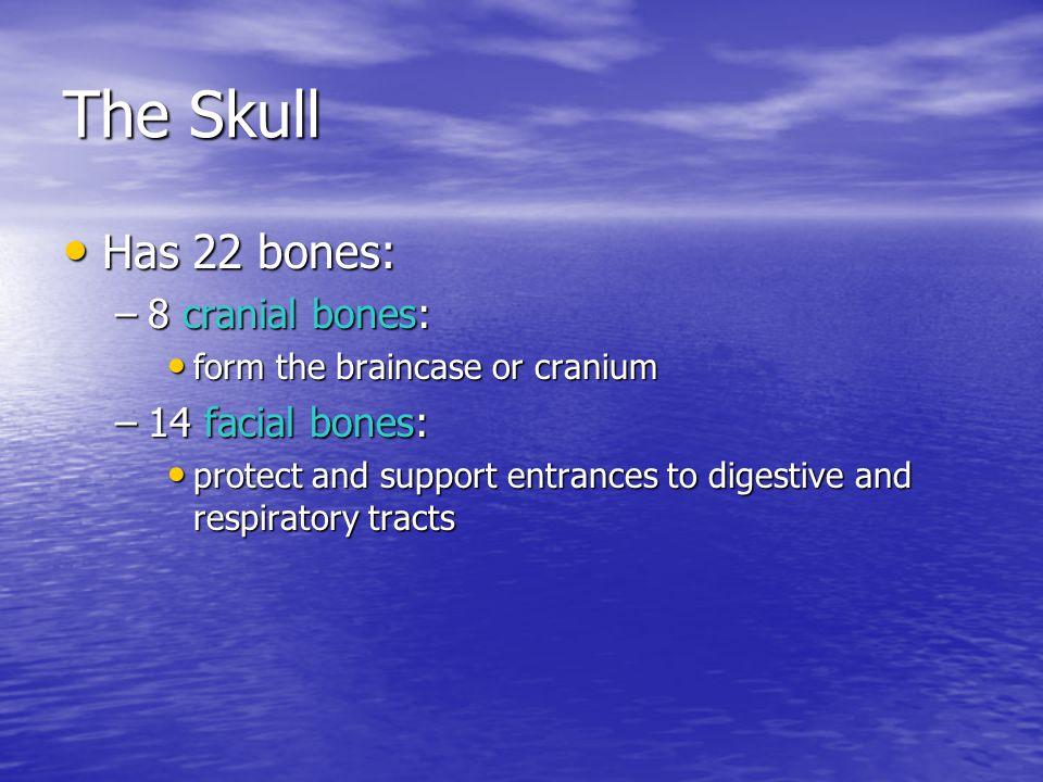 The Skull Has 22 bones: Has 22 bones: –8 cranial bones: form the braincase or cranium form the braincase or cranium –14 facial bones: protect and supp