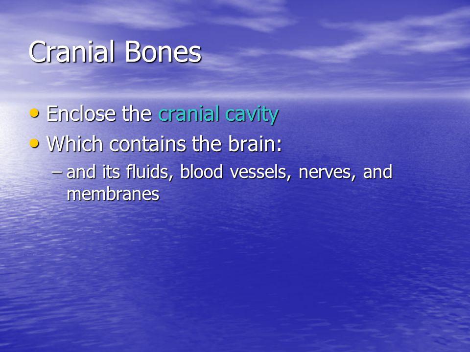 Cranial Bones Enclose the cranial cavity Enclose the cranial cavity Which contains the brain: Which contains the brain: –and its fluids, blood vessels