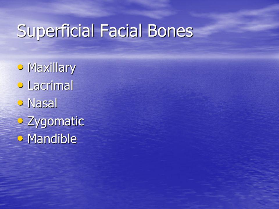 Superficial Facial Bones Maxillary Maxillary Lacrimal Lacrimal Nasal Nasal Zygomatic Zygomatic Mandible Mandible