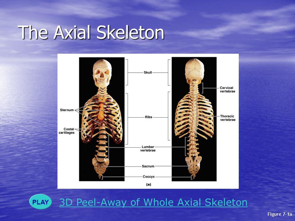 The Axial Skeleton The axial skeleton: The axial skeleton: –forms the longitudinal axis of the body –has 80 bones