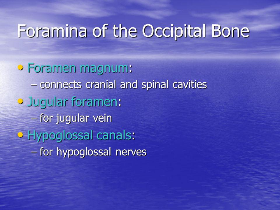 Foramina of the Occipital Bone Foramen magnum: Foramen magnum: –connects cranial and spinal cavities Jugular foramen: Jugular foramen: –for jugular ve
