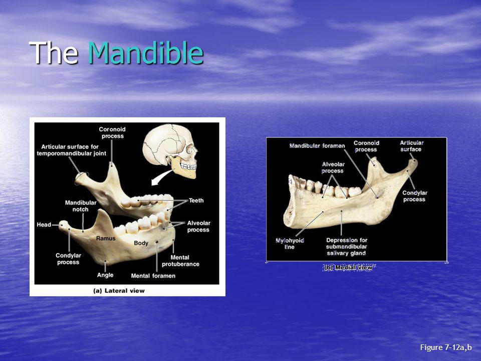 The Mandible Figure 7–12a,b