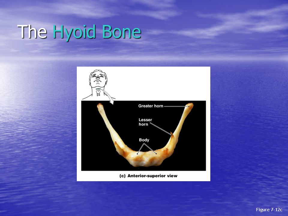 The Hyoid Bone Figure 7–12c