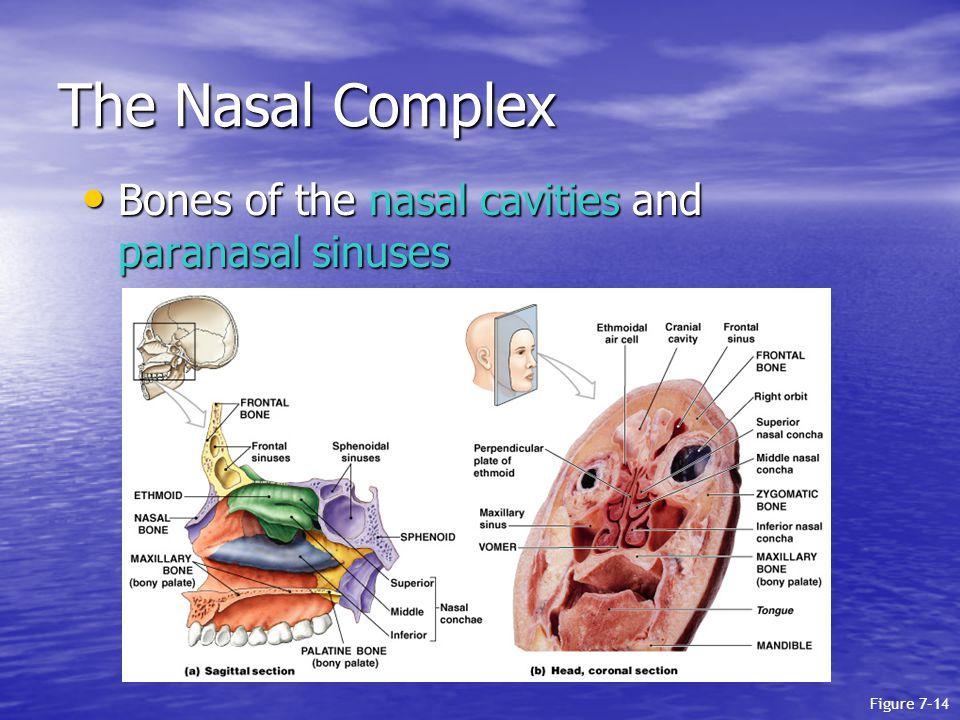 The Nasal Complex Bones of the nasal cavities and paranasal sinuses Bones of the nasal cavities and paranasal sinuses Figure 7–14