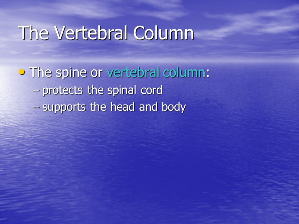 The Vertebral Column The spine or vertebral column: The spine or vertebral column: –protects the spinal cord –supports the head and body