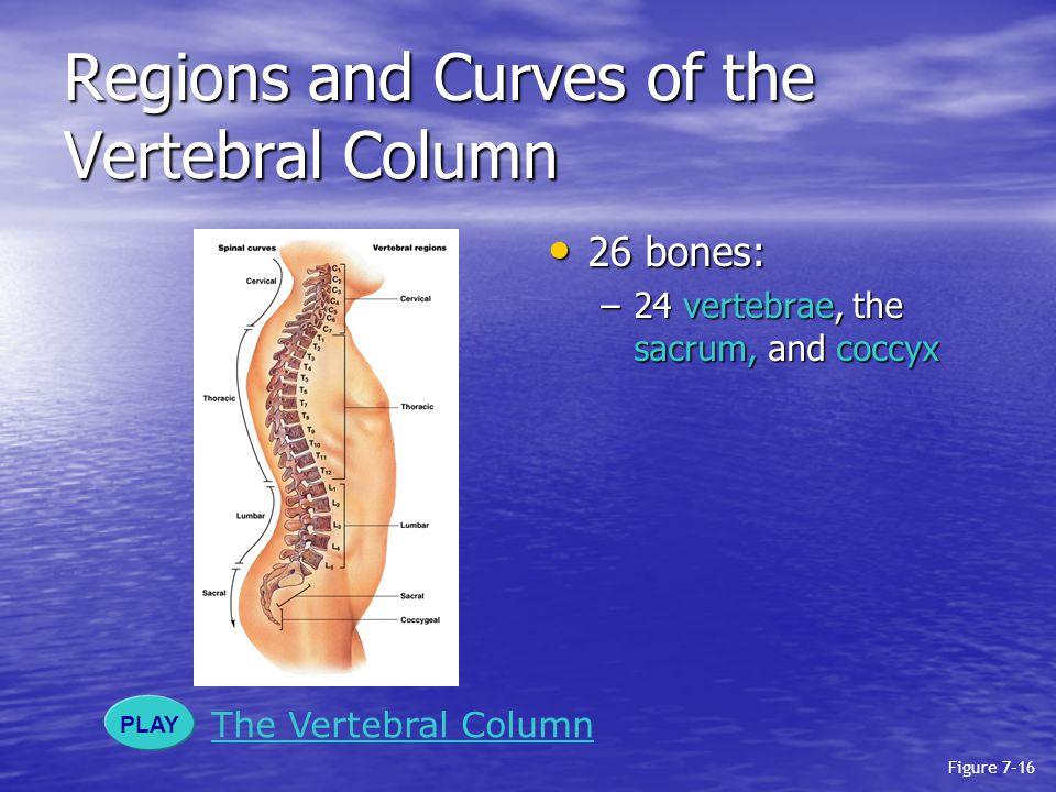 Regions and Curves of the Vertebral Column 26 bones: 26 bones: –24 vertebrae, the sacrum, and coccyx PLAY The Vertebral Column Figure 7–16