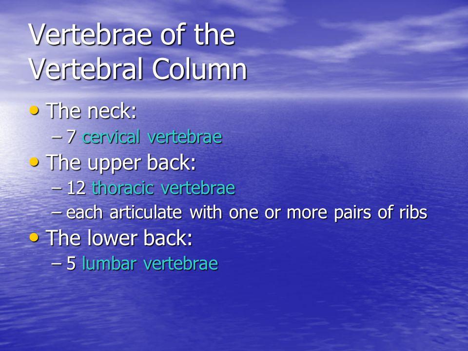 Vertebrae of the Vertebral Column The neck: The neck: –7 cervical vertebrae The upper back: The upper back: –12 thoracic vertebrae –each articulate wi
