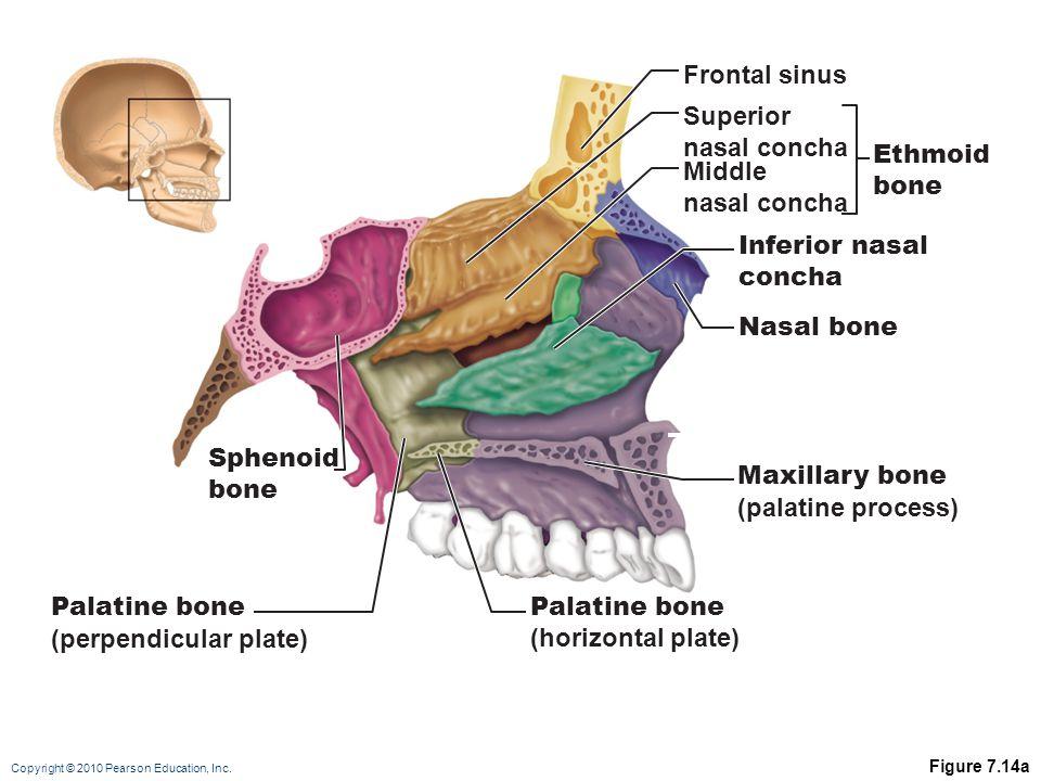 Copyright © 2010 Pearson Education, Inc. Figure 7.14a Maxillary bone (palatine process) Palatine bone (perpendicular plate) Palatine bone (horizontal
