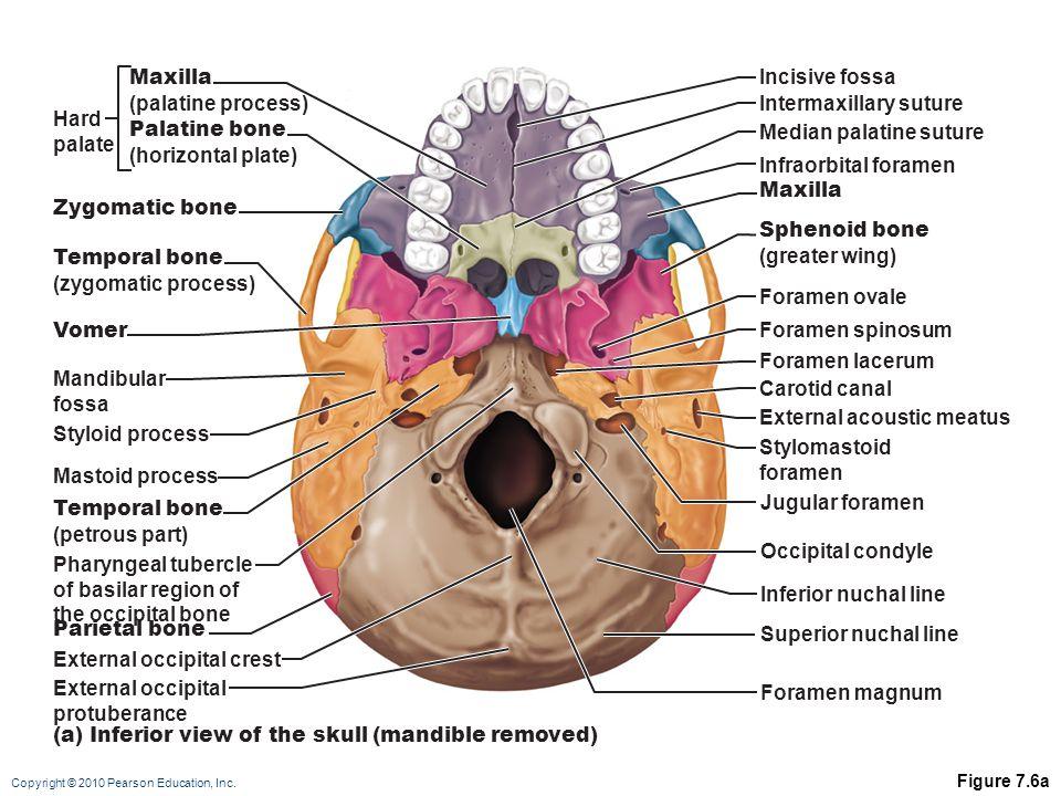 Copyright © 2010 Pearson Education, Inc. Figure 7.6a Incisive fossa Median palatine suture Intermaxillary suture Infraorbital foramen Maxilla Sphenoid
