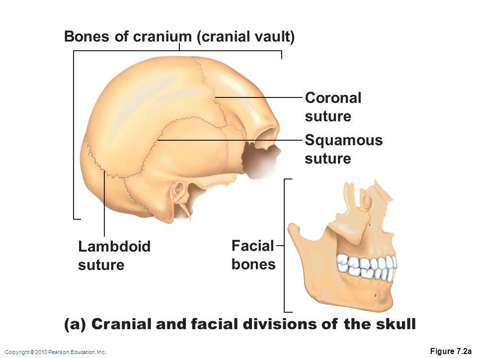Copyright © 2010 Pearson Education, Inc. Figure 7.2a Bones of cranium (cranial vault) Lambdoid suture Facial bones Squamous suture (a) Cranial and fac