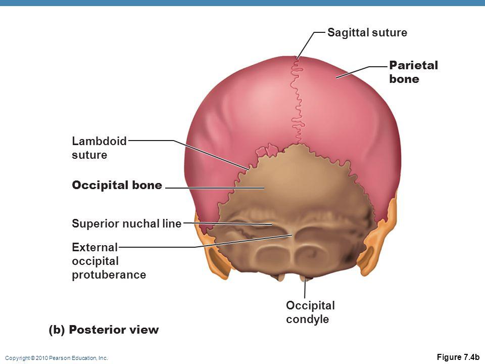 Copyright © 2010 Pearson Education, Inc. Figure 7.4b Lambdoid suture Occipital bone Superior nuchal line External occipital protuberance (b) Posterior