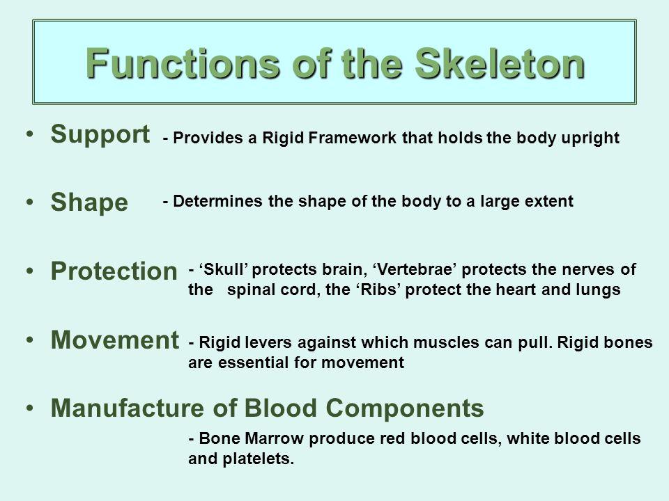 The Axial Skeleton Skull Spine Sternum Rib cage The Appendicular Skeleton Pectoral Girdle Pelvic Girdle Pentadactyl Limbs The Human Skeleton Contains 206 Bones