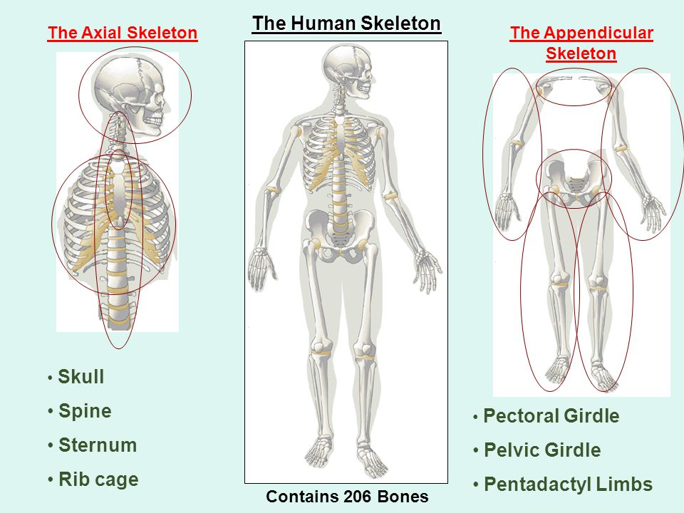 The Axial Skeleton Skull Spine Sternum Rib cage The Appendicular Skeleton Pectoral Girdle Pelvic Girdle Pentadactyl Limbs The Human Skeleton Contains 206 Bones