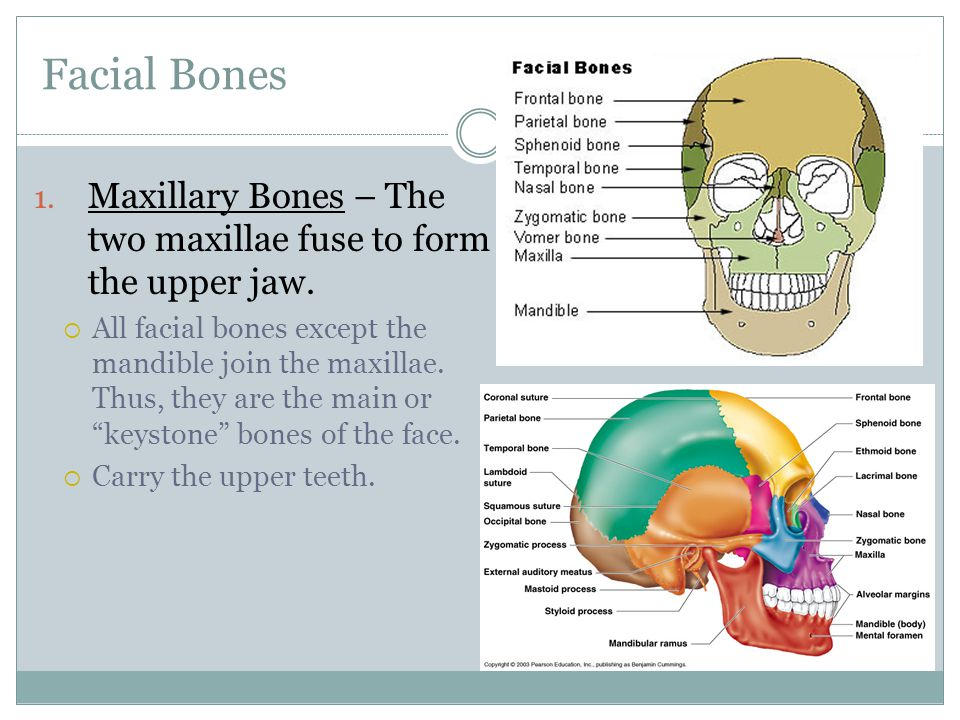 Facial Bones 1.Maxillary Bones – The two maxillae fuse to form the upper jaw.