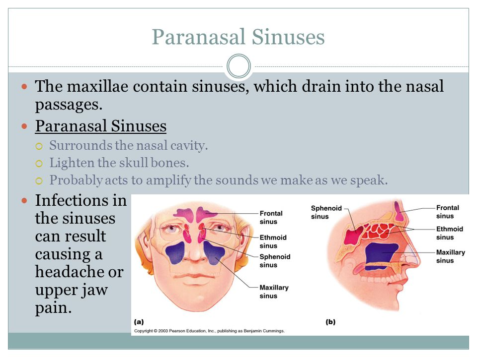 Paranasal Sinuses The maxillae contain sinuses, which drain into the nasal passages.