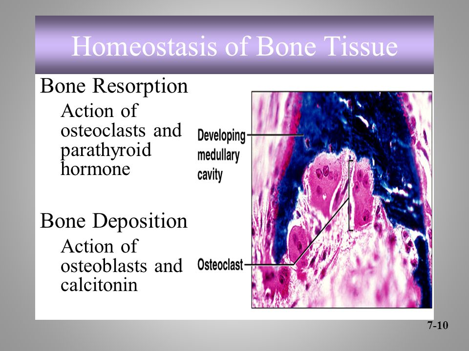 Homeostasis of Bone Tissue Bone Resorption Action of osteoclasts and parathyroid hormone Bone Deposition Action of osteoblasts and calcitonin 7-10