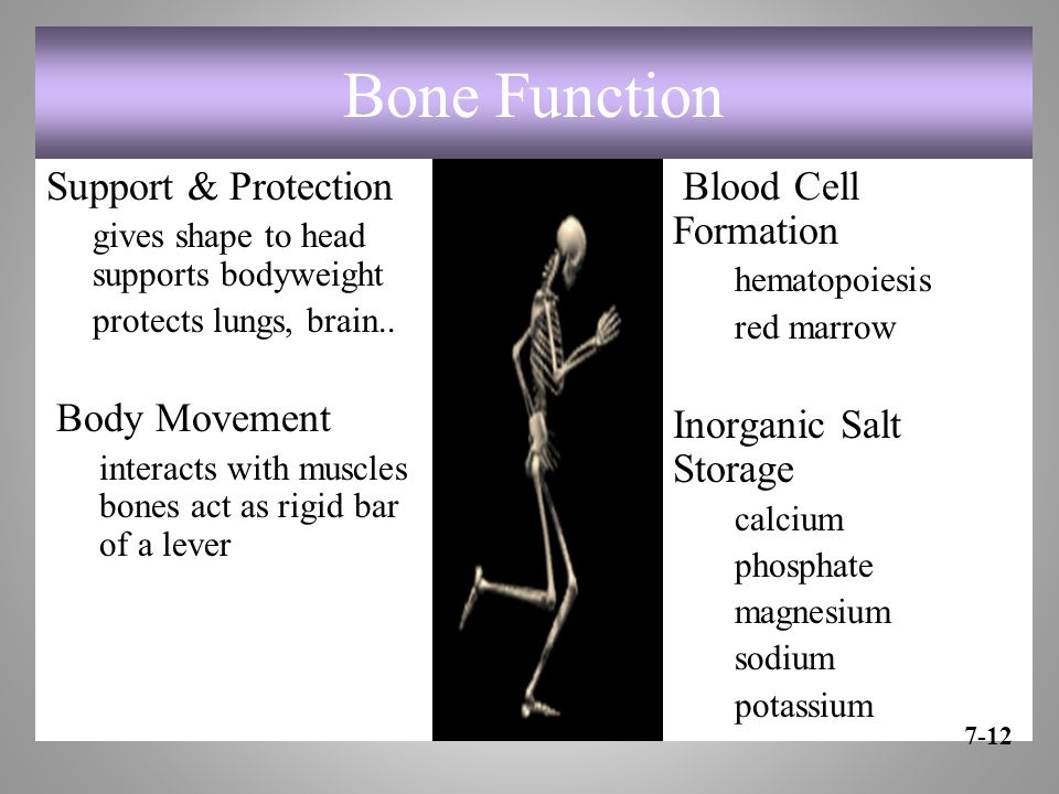 Bone Function Support & Protection gives shape to head supports bodyweight protects lungs, brain..