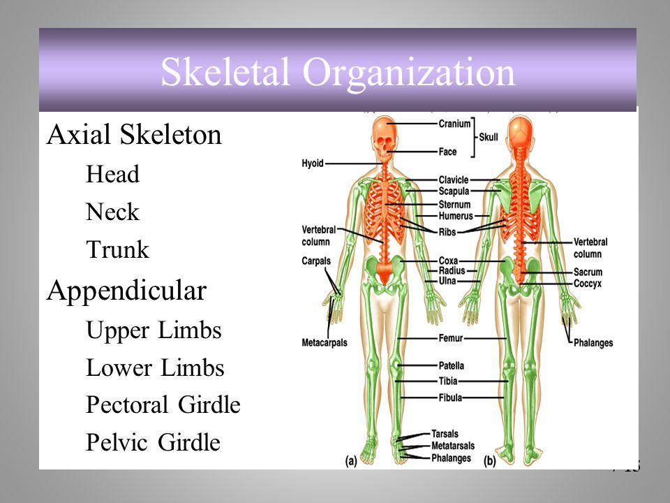 Axial Skeleton Head Neck Trunk Appendicular Upper Limbs Lower Limbs Pectoral Girdle Pelvic Girdle 7-15 Skeletal Organization