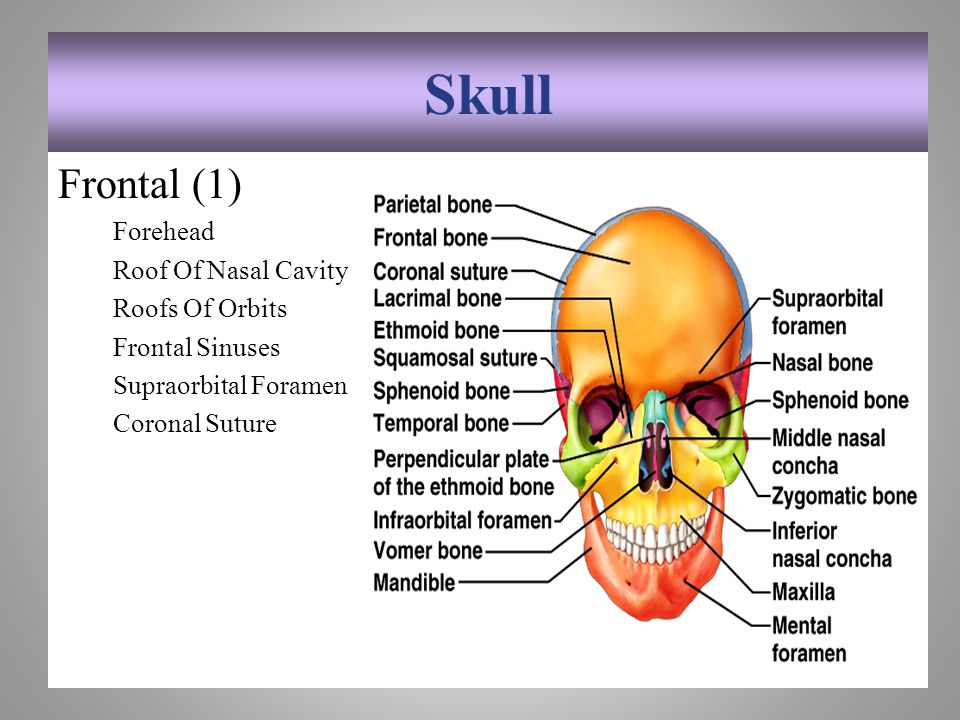 Skull Frontal (1) Forehead Roof Of Nasal Cavity Roofs Of Orbits Frontal Sinuses Supraorbital Foramen Coronal Suture 7-17