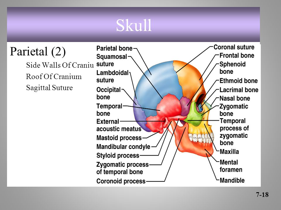 Skull Parietal (2) Side Walls Of Cranium Roof Of Cranium Sagittal Suture 7-18