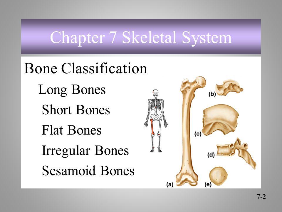 Chapter 7 Skeletal System Bone Classification Long Bones Short Bones Flat Bones Irregular Bones Sesamoid Bones 7-2