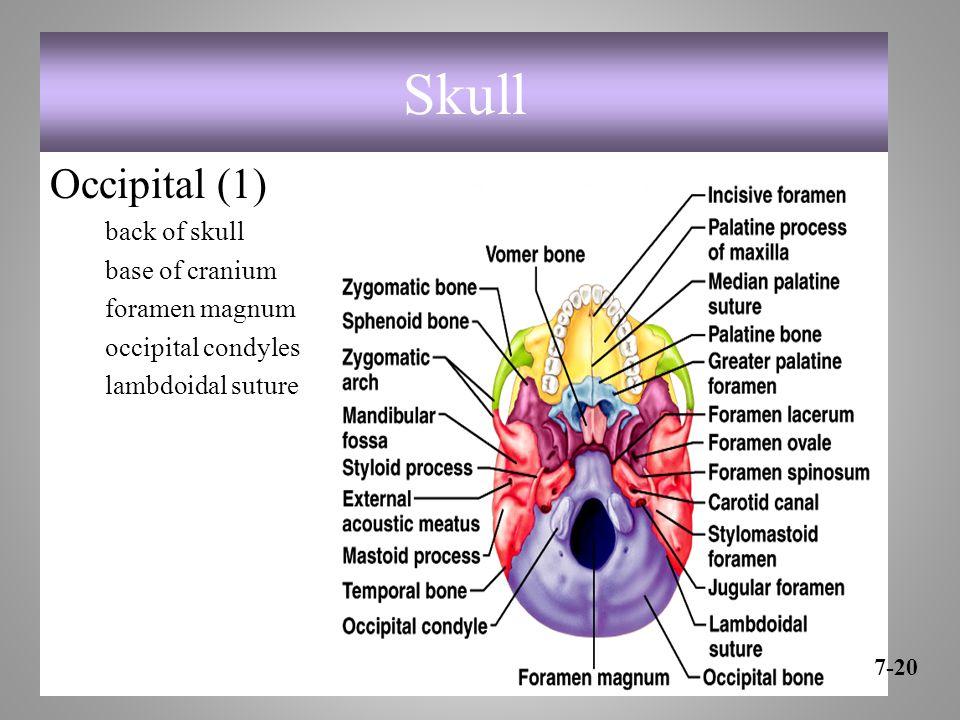 Skull Occipital (1) back of skull base of cranium foramen magnum occipital condyles lambdoidal suture 7-20