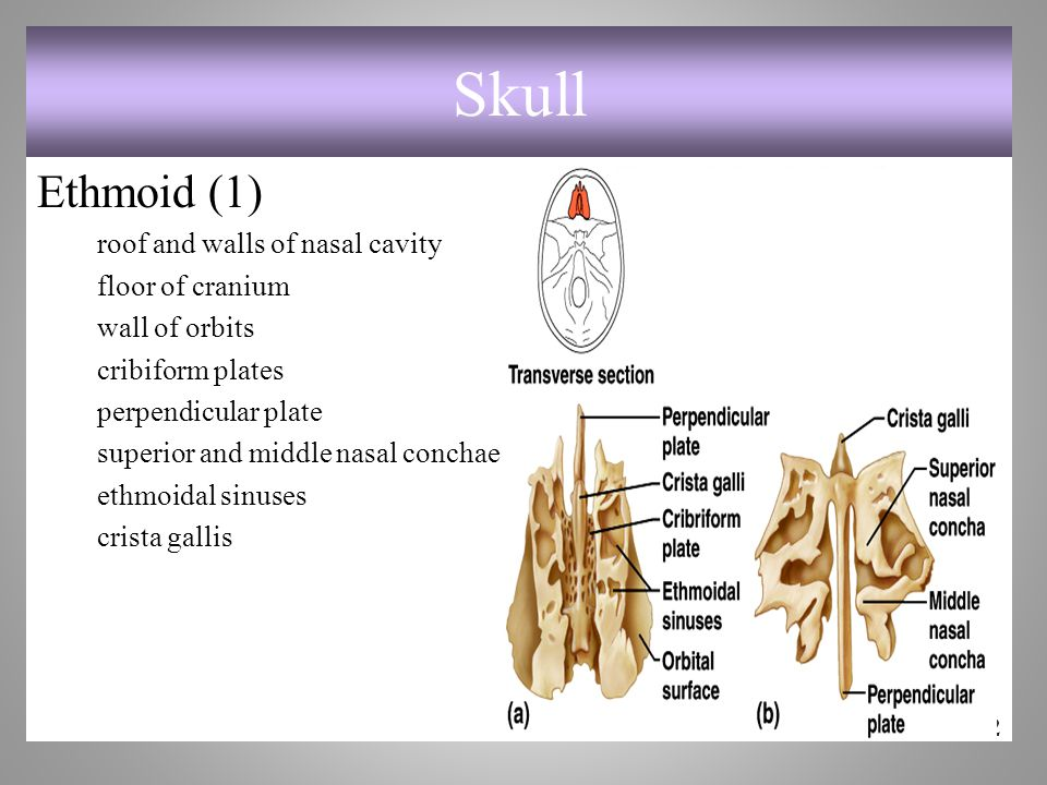 Skull Ethmoid (1) roof and walls of nasal cavity floor of cranium wall of orbits cribiform plates perpendicular plate superior and middle nasal conchae ethmoidal sinuses crista gallis 7-22