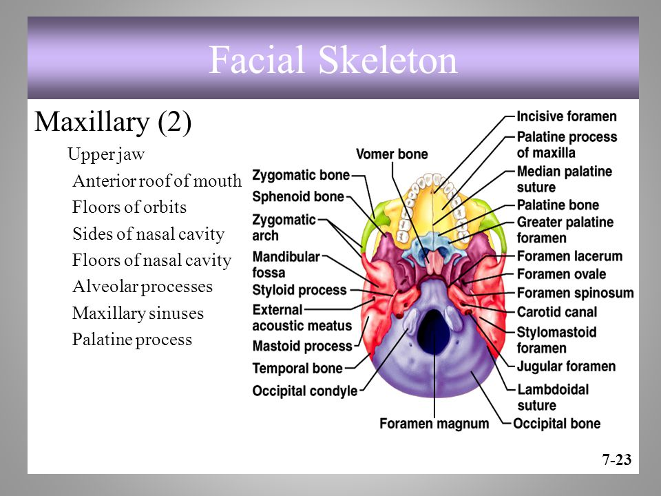 Facial Skeleton Maxillary (2) Upper jaw Anterior roof of mouth Floors of orbits Sides of nasal cavity Floors of nasal cavity Alveolar processes Maxillary sinuses Palatine process 7-23