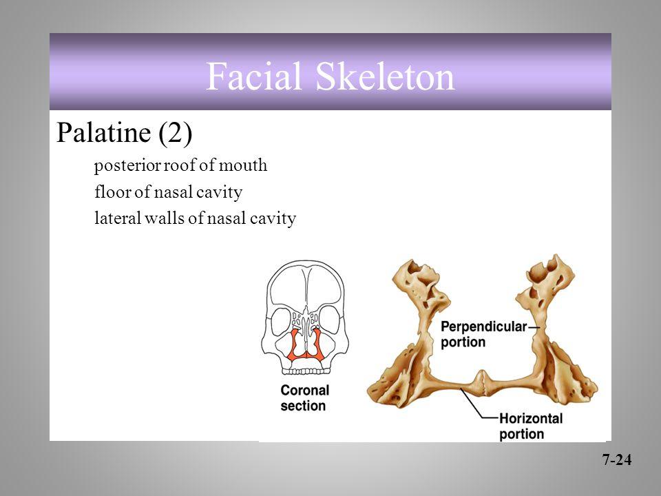 Facial Skeleton Palatine (2) posterior roof of mouth floor of nasal cavity lateral walls of nasal cavity 7-24