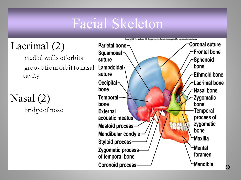 Facial Skeleton Lacrimal (2) medial walls of orbits groove from orbit to nasal cavity Nasal (2) bridge of nose 7-26