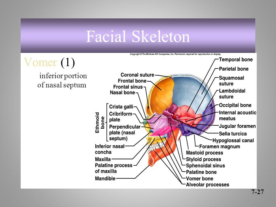 Facial Skeleton Vomer (1) inferior portion of nasal septum 7-27