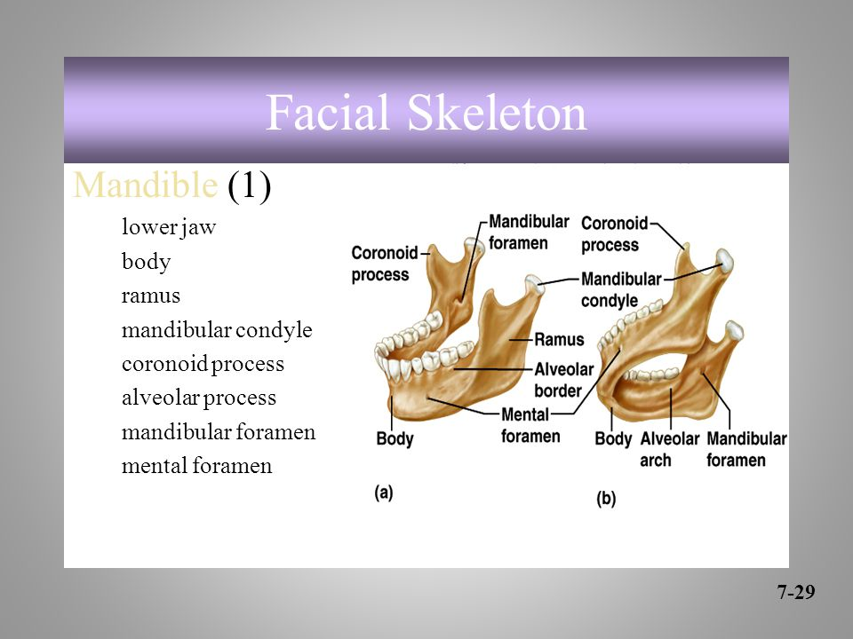 Mandible (1) lower jaw body ramus mandibular condyle coronoid process alveolar process mandibular foramen mental foramen 7-29 Facial Skeleton