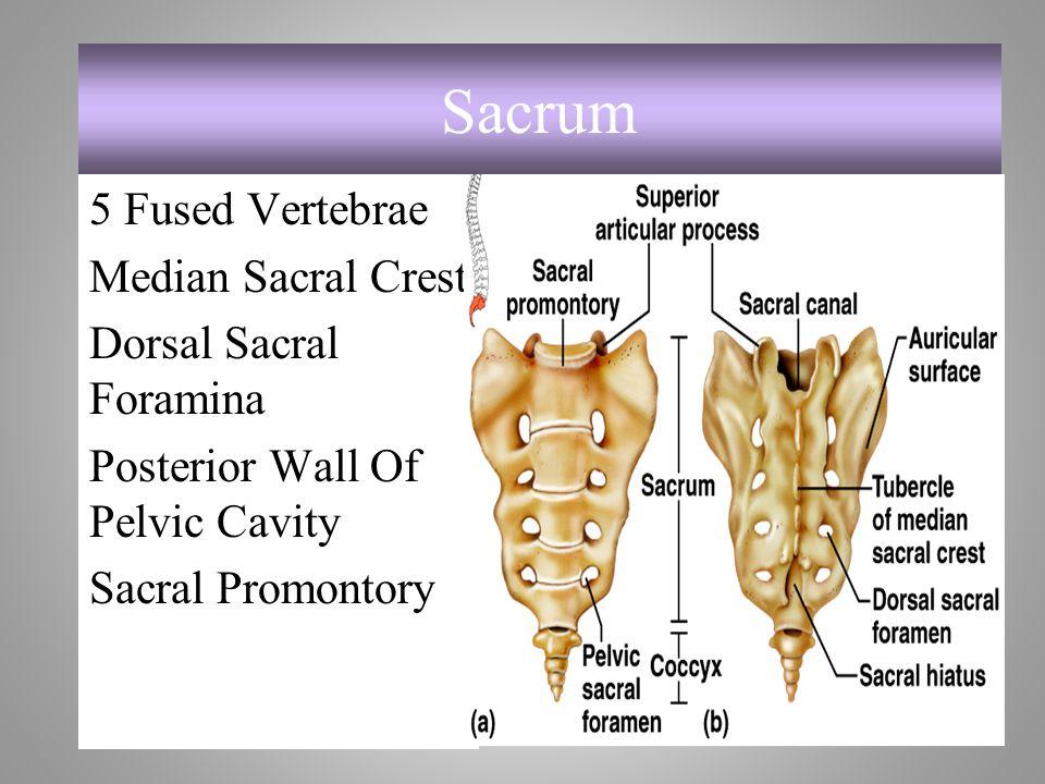 5 Fused Vertebrae Median Sacral Crest Dorsal Sacral Foramina Posterior Wall Of Pelvic Cavity Sacral Promontory Sacrum 7-36