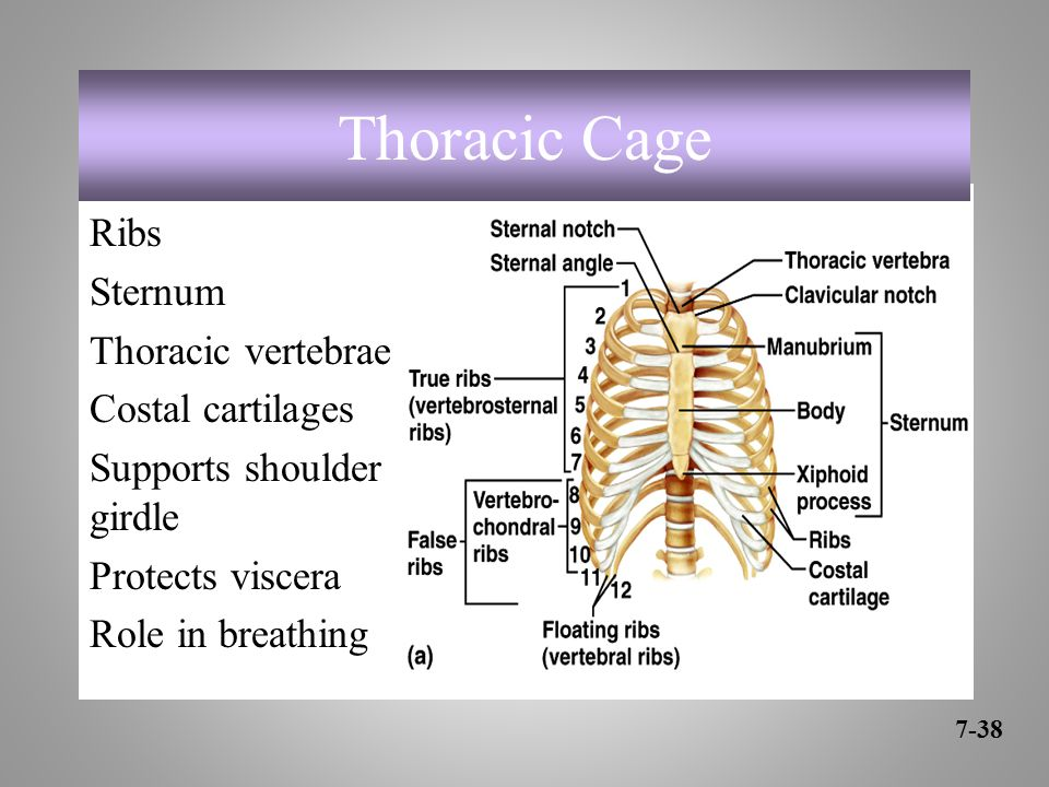 Ribs Sternum Thoracic vertebrae Costal cartilages Supports shoulder girdle Protects viscera Role in breathing 7-38 Thoracic Cage