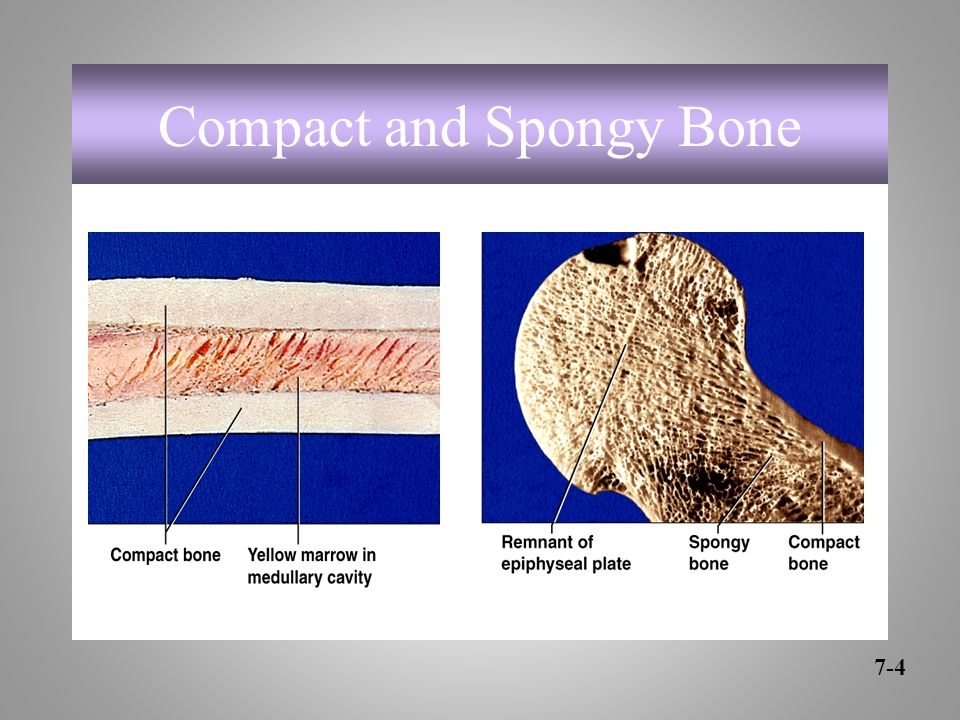 Compact and Spongy Bone 7-4